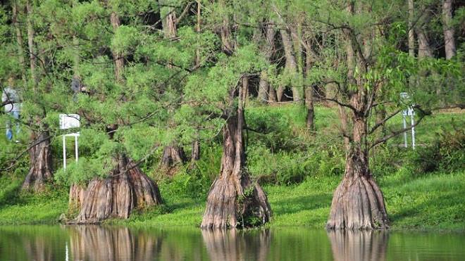 Theo giới buôn gỗ, cây thủy tùng trên 500 năm tuổi, đường kính gốc gần 1 m sẽ có giá không dưới tiền tỷ